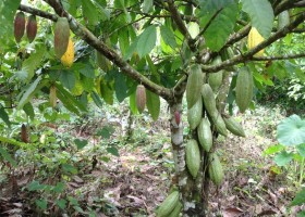 Sustainable cocoa beans production and marketing