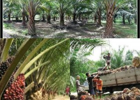 Oil Palm Plantation and Red Palm oil Refinery
