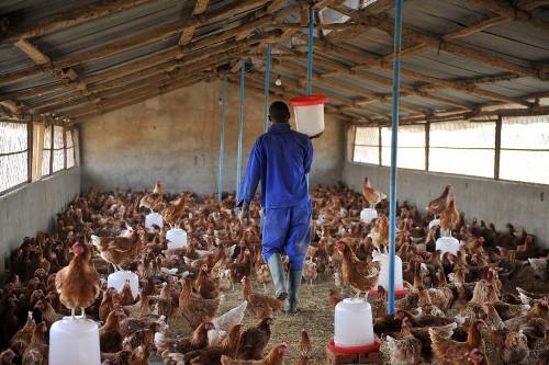 /srv/www/vhosts/user3101/html/entrepreneurship-campus.org/wp-content/uploads/2019/06/poultry-farm-2.jpg