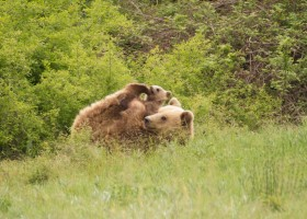 Brown Bears in Northern Pindos